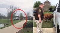 Una vaca generó una persecución policial por un vecindario al suroeste del área metropolitana de Houston. Finalwente fue atrapada por varios