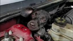 Maullido de gato alerta de perro atrapado en capó de auto