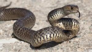 Las serpientes venenosas que rondan Houston