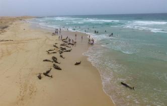 Desesperado rescate de delfines varados en playa