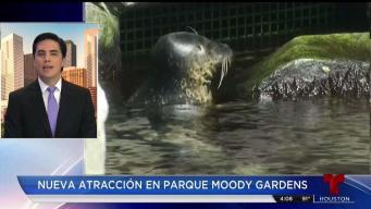 Focas encuentran un nuevo hogar en Moody Gardens