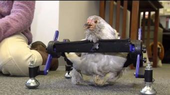 """Gallina """"Corazón de Granito"""" recupera movilidad gracias a silla de ruedas"""