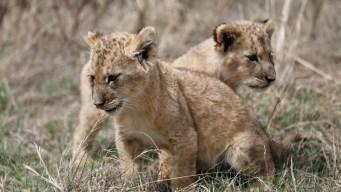 Nacen leones concebidos por inseminación artificial