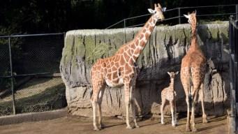 Buscan nombre para jirafa bebé en capital mexicana