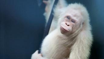 En video: liberan a la única orangutana albina del mundo
