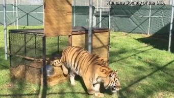El nuevo hogar del tigre hallado en una casa abandonada en Houston
