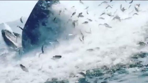 [TLMD - NATL] Gigantesca ballena se traga banco de peces de un solo bocado