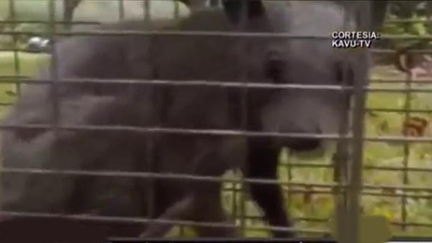 """Video: Dicen haber capturado al """"chupacabras"""""""
