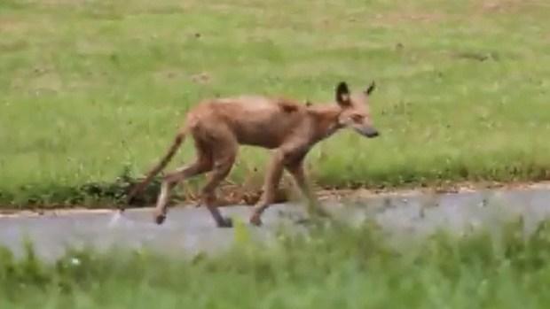 Video: Temen por chupacabras en Nueva Jersey