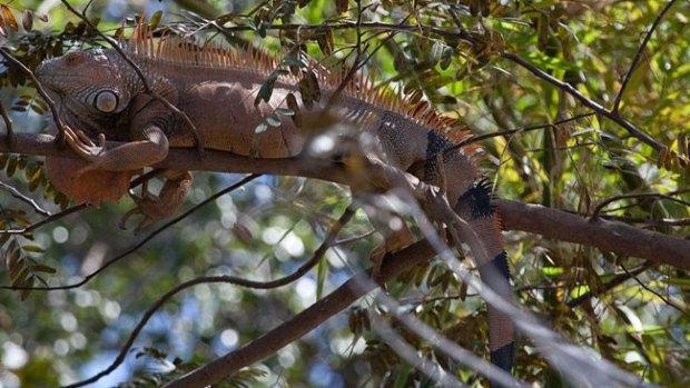Video: Ante la escasez, a comer iguanas