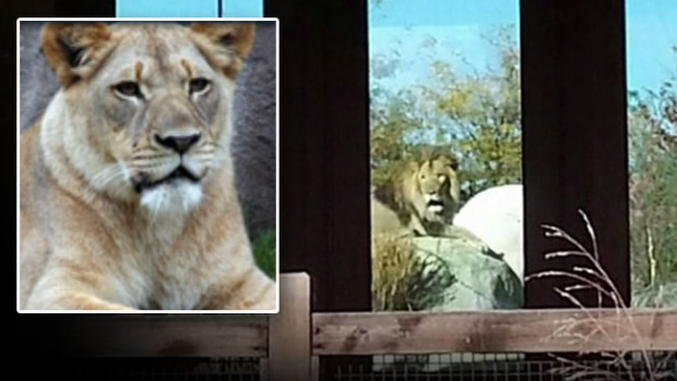 Video: Público ve a león matar a leona en el zoo