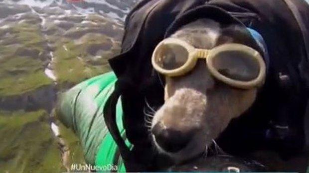 Video: Perro se lanza al vacío en paracaídas