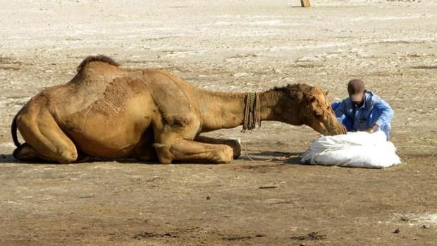 Nómades llegan en camello para votar