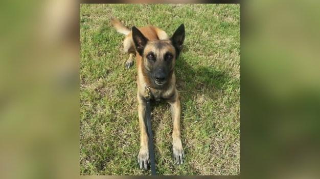 Tras persecución sacrifican a perro policía de HPD