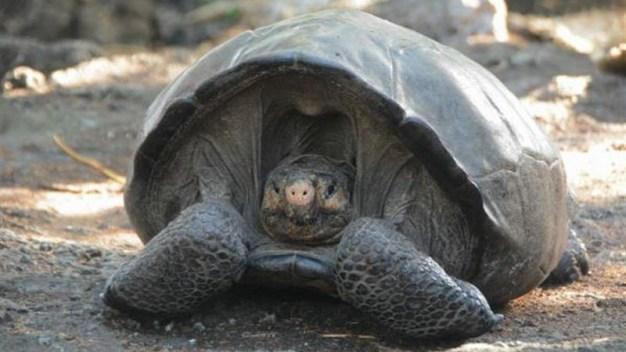 Hallan tortuga gigante; se creía extinta hace 100 años