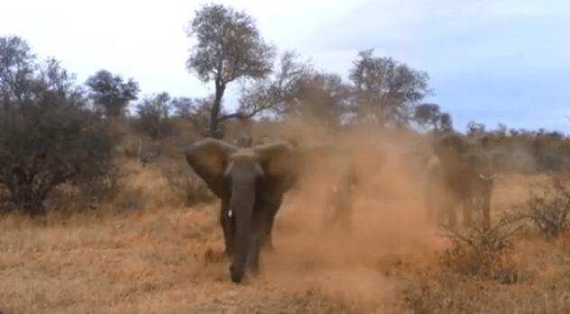 Video: Impactante video de elefante enfurecido