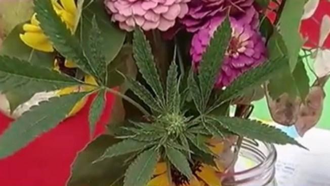 Inédito: marihuana compite en feria de plantas