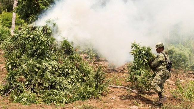 Militares destruyen plantío de marihuana en Sinaloa
