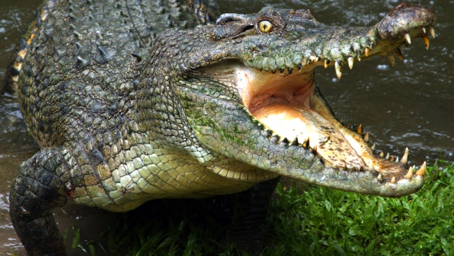 Un cocodrilo se lleva a un niño en México