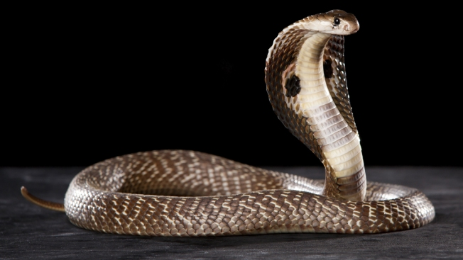 Hallan serpiente cobra en edificio de Houston