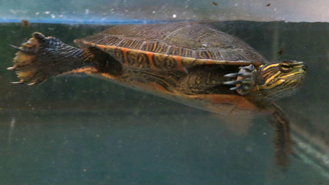 Advierten sobre tortugas mascota por brote de salmonela