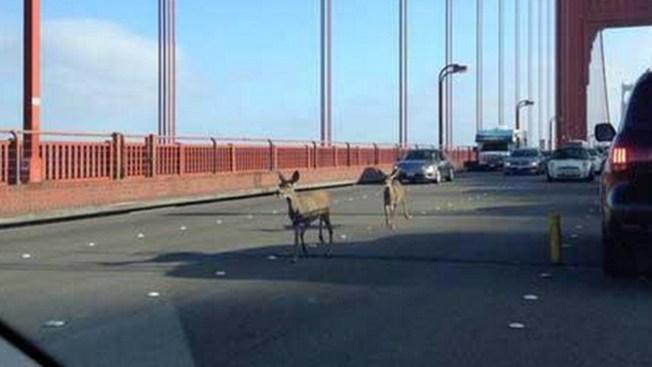 ¡Asombro! Ciervos cruzan el Golden Gate
