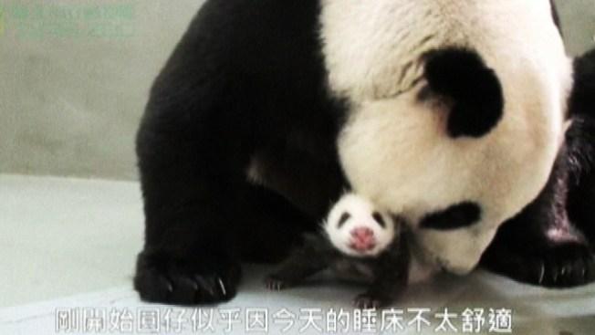 Mamá y bebé panda, ¡qué ternura!
