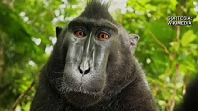 """""""Selfies"""" de monos generan controversia"""