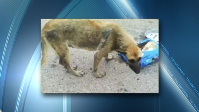 Abandonan perros moribundos