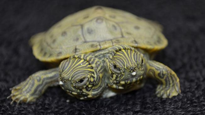Nace en San Antonio una tortuga bicéfala