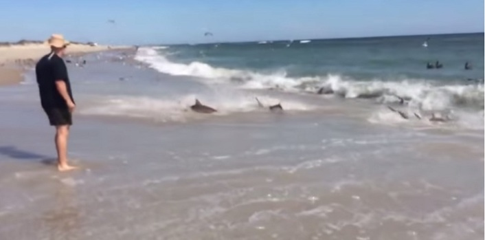 Video: Tiburones se dan festín en plena orilla